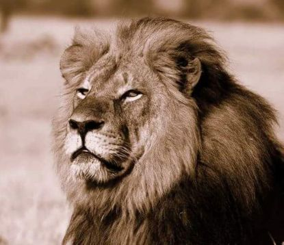 http://worldmeets.us/images/cecil-the-lion_pic.jpg