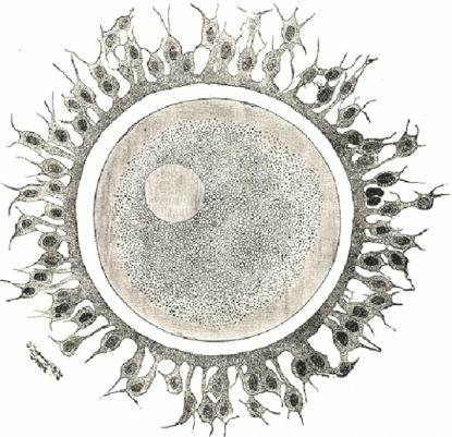 http://worldmeets.us/images/egg-cell-fertilization_pic.jpg