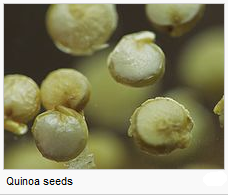 http://worldmeets.us/images/quinoa-micro_pic.png